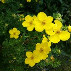 Pięciornik krzewiasty Goldstar-Potentilla fruticosa Goldstar