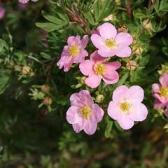 Pięciornik krzewiasty Pink Beauty-Potentilla fruticosa Pink Beauty