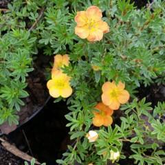Pięciornik krzewiasty pomarańczowy-Potentilla fruticosa