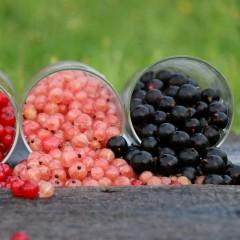 Porzeczka czarna Titania-Ribes nigrum 'Titania'