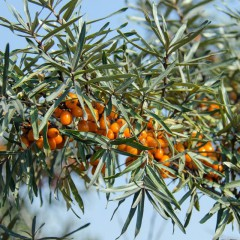 Rokitnik (MĘSKI) zwyczajny, rokitnik pospolity-Hippophae rhamnoides (male)