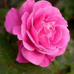 Róża wielkokwiatowa Belle Ange-RosaBelle Ange