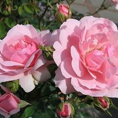 Róża rabatowa Tanal-Rosa Tanal