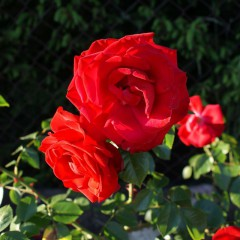 Róża rabatowa Nina Weibul-Rosa Nina Weibul