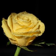 Róża rabatowa Allgold-Rosa Allgold