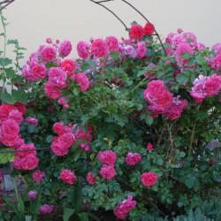 Róża wielkokwiatowa Dream Princess