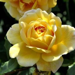 Róża pnąca Golden Showers