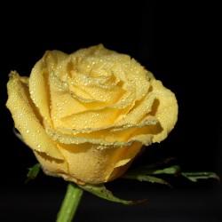 Róża rabatowa Allgold
