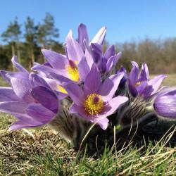 Sasanka zwyczajna fioletowa