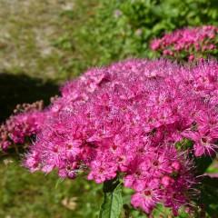 Tawuła japońska Anthony Waterer-Spiraea japonica Anthony Waterer