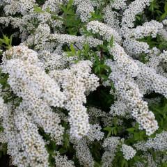 Tawuła nippońska White Carpet-Spiraea nipponica White Carpet