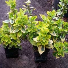 Trzmielina Fortunea Emeraldn Gold P7-Euonymus fortunei Emeraldn Gold