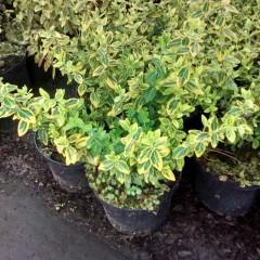 Trzmielina Fortunea Emeraldn Gold C2-Euonymus fortunei Emeraldn Gold