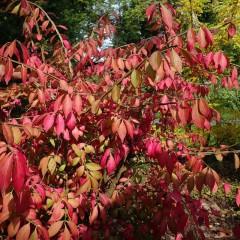 Trzmielina oskrzydlona Płonący krzew-Euonymus alatus