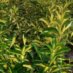 Trzmielina Fortunea Sunspot C2-Euonymus fortunei Sunspot