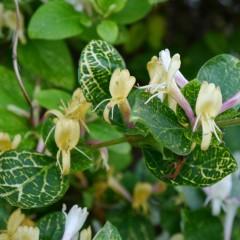 Wiciokrzew japoński Aureoreticulata-Lonicera japonica