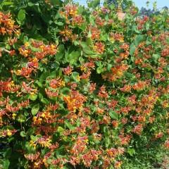 Wiciokrzew Browna Dropmore Scarlet-Lonicera x brownii