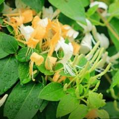 Wiciokrzew zaostrzony-Lonicera acuminata