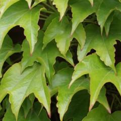 Winobluszcz trójlistkowy Veitchii-Parthenocissus tricuspidata