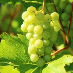 Winorośl Refren-Vitis Refren