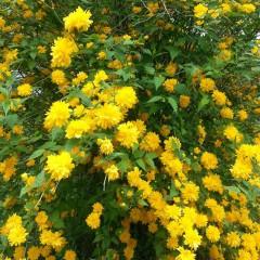 Złotlin japoński Pleniflora-Kerria japonica Pleniflora